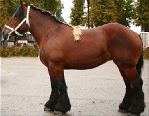 cheval de trait auxois a vendre
