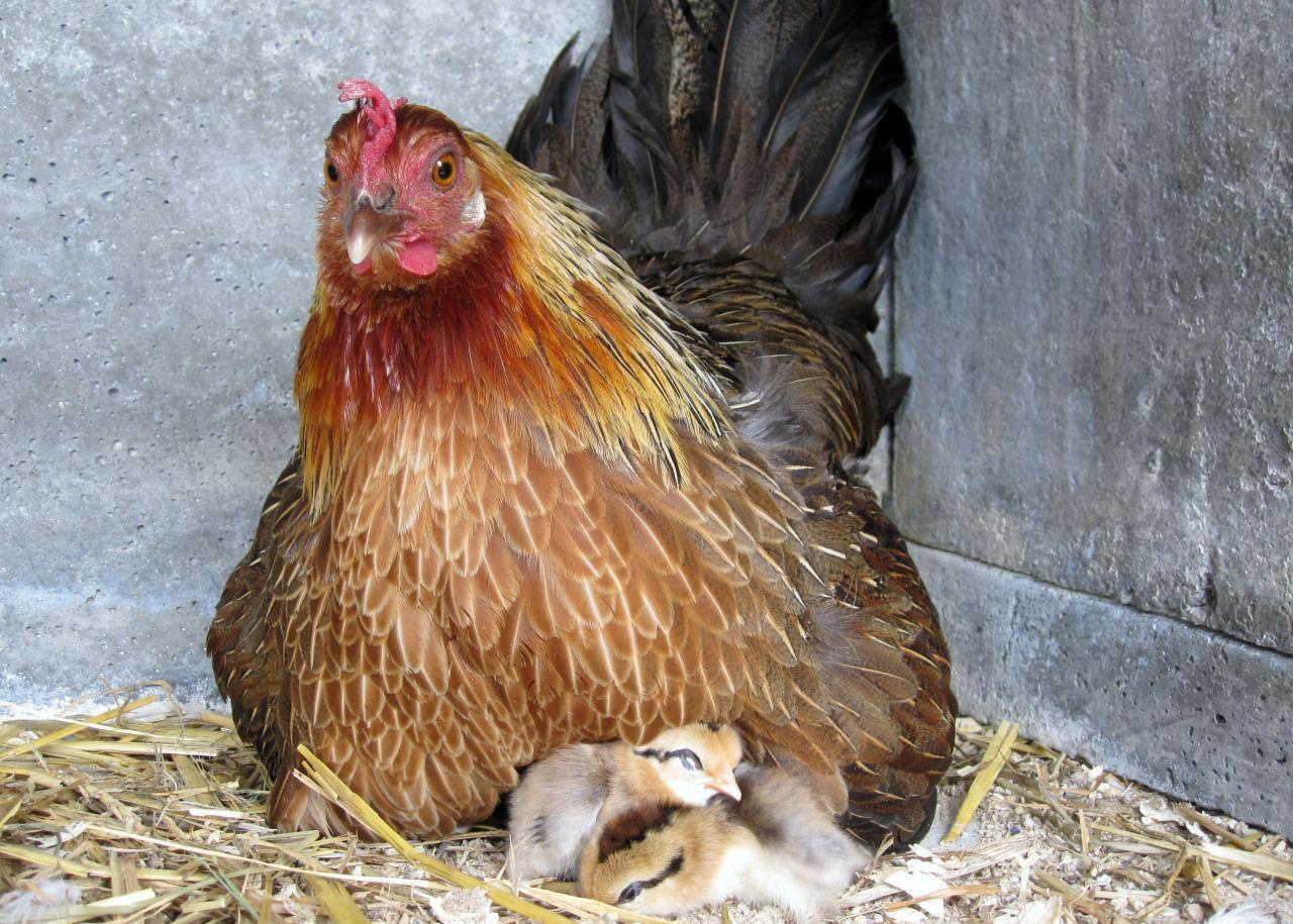 Poules pondeuses : top 10 des races - poules-clubcom