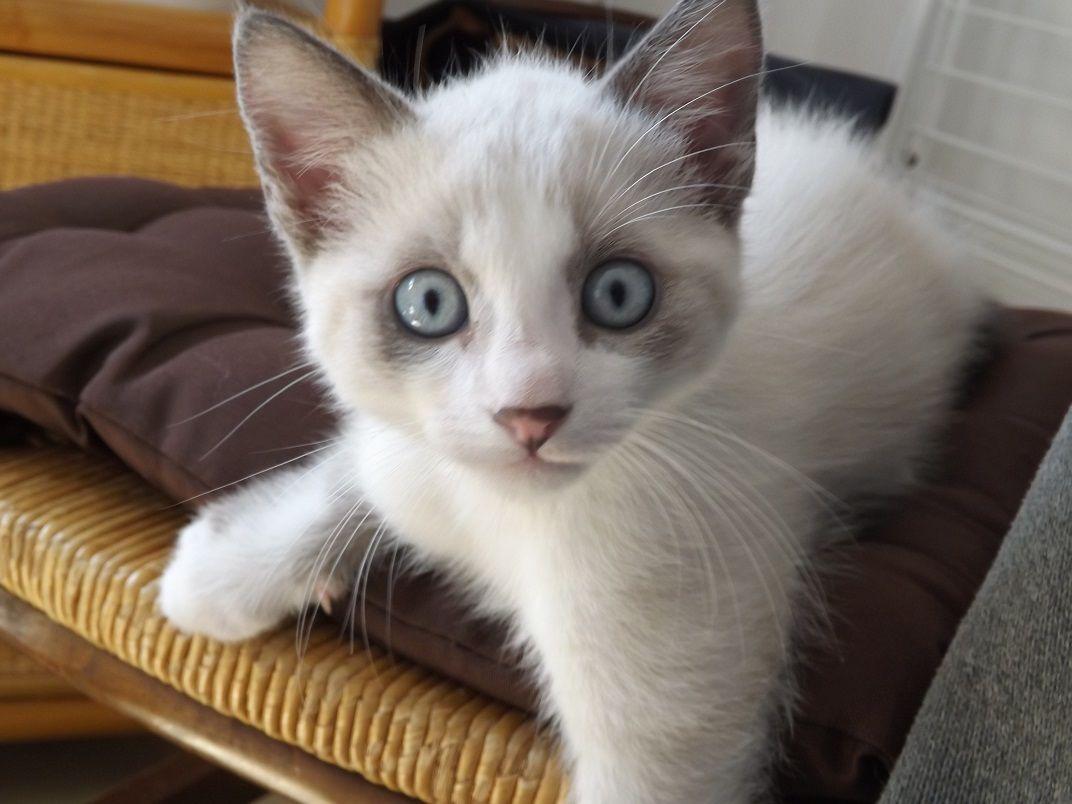 Chat aux yeux bleus extrmement clairs page 1 - Salon de chat gratuit ...