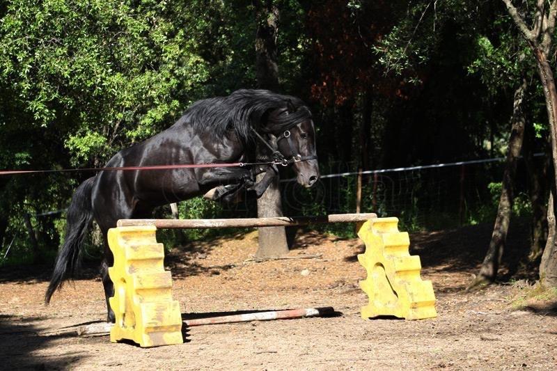 Frison shire co 2 forum cheval - Frison qui saute ...