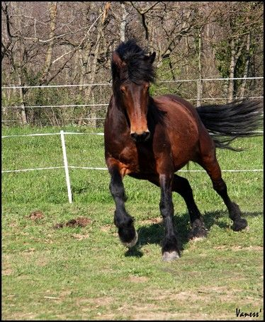 cheval de trait croise arabe