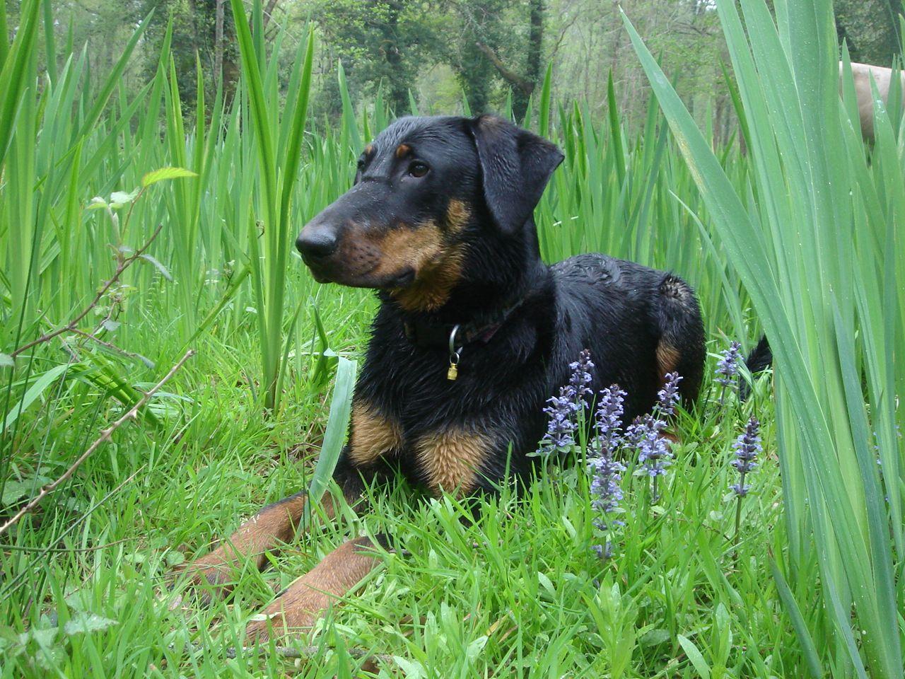 Le Beauceron chien dangereux - 1 - Forum Cheval