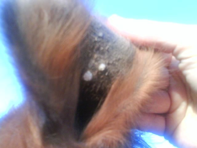 Boutons dans les oreilles 1 forum cheval - Chelidoine verrue combien temps ...