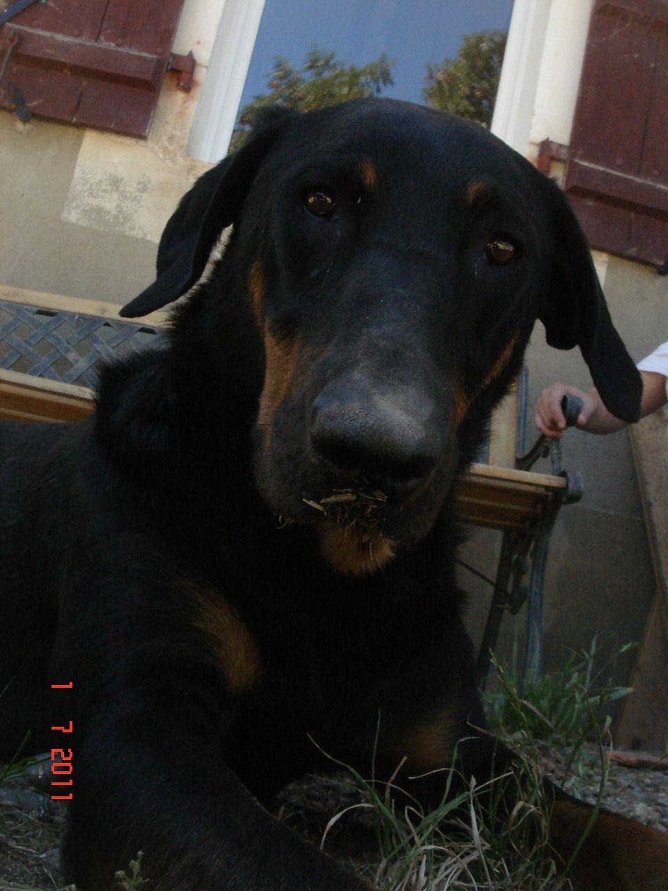 Le Beauceron chien dangereux - page : 1
