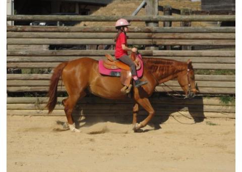 Hongre Quarter Horse 4 ans