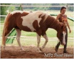 Paint horse entier 3 ans