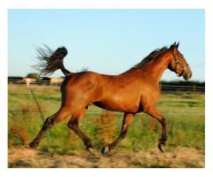 cheval de loisir balade/carrière 4 ans