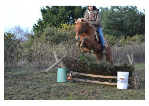 Grand poney hongre gentil et polyvalent
