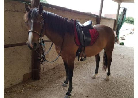 super Poney Français de Selle 7 ans gros potentiel CSO