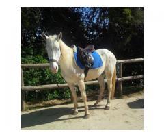 Deux chevaux appaloosa de 3 et 4 ans