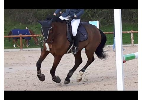 Vend cheval selle français