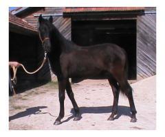 Galatéa LCP pouliche Noire Pure Race Minorquine 1 an