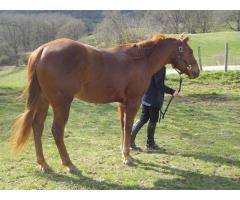 QUARTER HORSE HONGRE 4 ANS Alezan