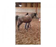 cheval lusitanien Plein papiers