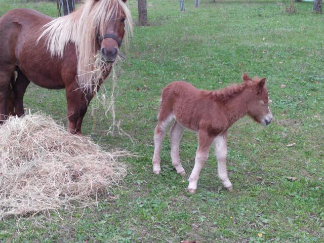 Poney shetland femelle 7 mois PP