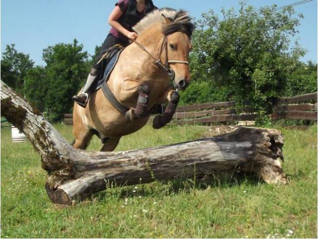 poney fjord de 7 ans pour adoption gratuite