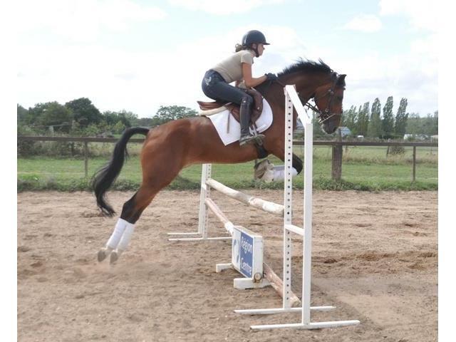 Poney de sport belge