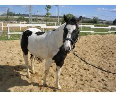 Paint Horse Hongre Pie noir 8 ans