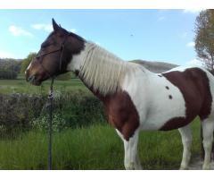A VENDRE HONGRE PAINT HORSE DE 13 ANS