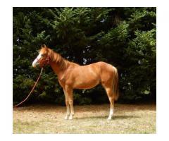QUARTER HORSE 2016