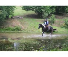 Saillie et IAC paint horse double homozygote label loisir