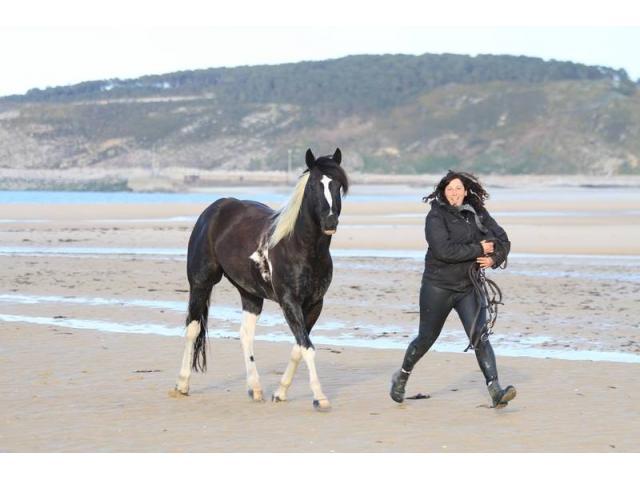 Saillie et IAC étalon paint horse double homozygote