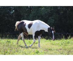 Jument paint horse black tobiano un oeil bleu 6 ans en 2018