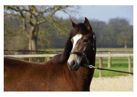 Beau et gentil poney D - 1m48