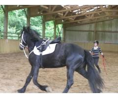 Magnifique cheval Hongre Frisson