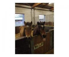 couple de 2 ponettes shetlands