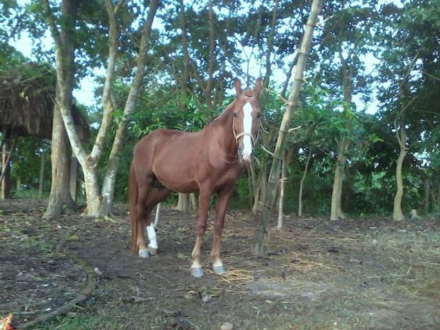 volontaires pour chevaux au Nepal