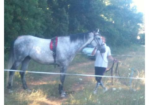 Propose demi-pension cheval AA de 7 ans