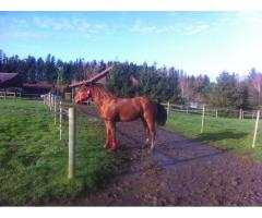Vend Magnifique Quarter horse alezan 2ans et 9 mois