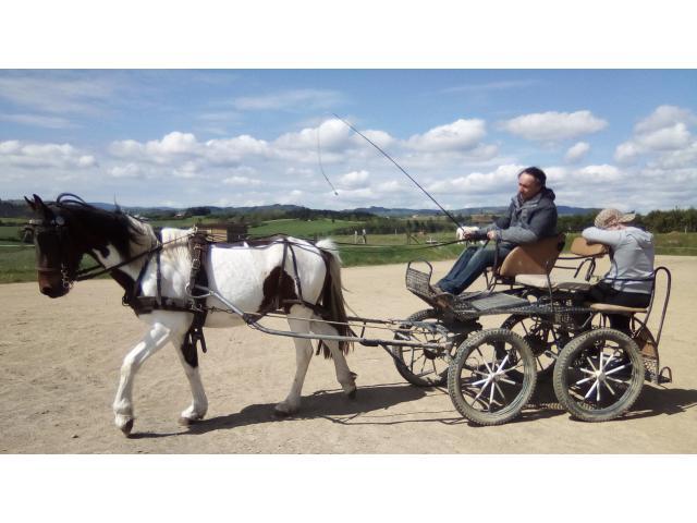 Gentil poney D hongre bai pie ONC, attelé/monté.