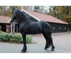 Superbe Étalon Frison 4,5 ans 1,66cm