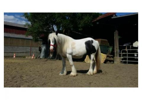 jument  (irish cob)