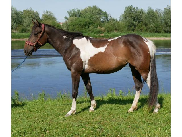 Cheval paint Horse