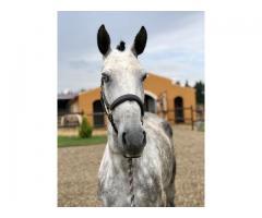 chevaux ibériques de qualité/top origines/dressés