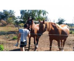 Cherche pension ou pré pour 2 chevaux