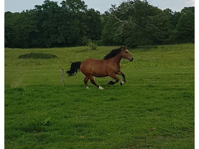 CHEVAL COB NORMAND 9  ans