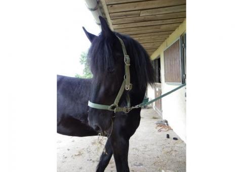 Mignon cheval Frison de 7 ans