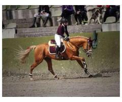 A donner Cheval de sport allemand 11 ans cherche une bonne famille d'accueil