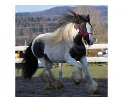 jument Irish Cob disponible de suite