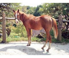 SARASVATI TREPHY, pouliche Quarter Horse 2018
