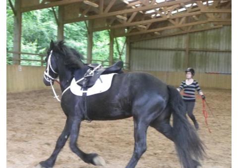 Superbe cheval Hongre Frison