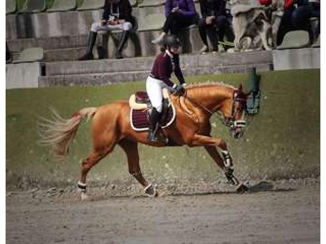 Cheval de sport allemand 11 ans à donner à une personne aimant les animaux
