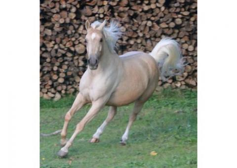 donne JUMENT PALOMINO 9 ANS 1M49