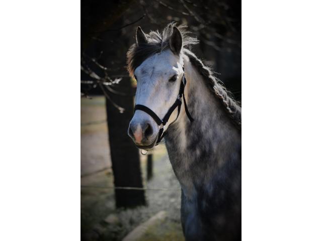 dp sur petit cheval joueur  lundi et/ou mercredi à Montfort