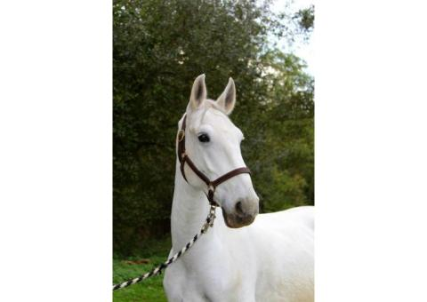 Très beau cheval polyvalent à vendre