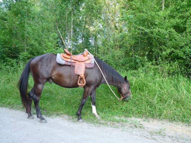 Pad Classic Equine 100% feutre